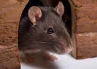 Ph rat